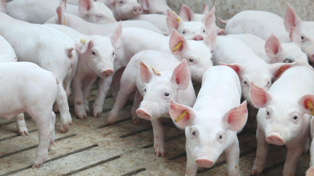 Cerdos en una nave ganadera de Pujol